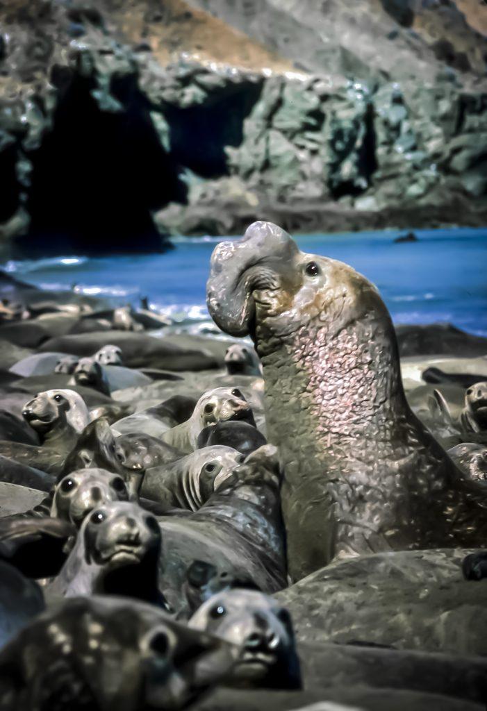 elephant seal isla cedros, baja california